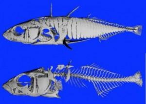 stickleback-fish-large