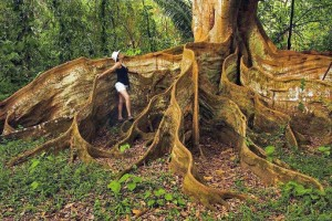0 buttress roots 574